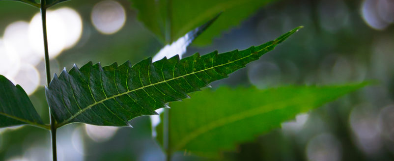 connaissez vous les vertus de l arbre de neem. Black Bedroom Furniture Sets. Home Design Ideas