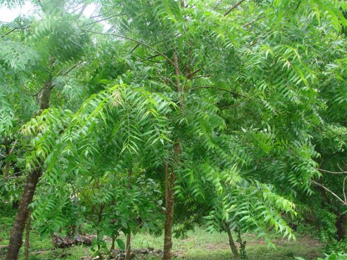 young-neem-tree