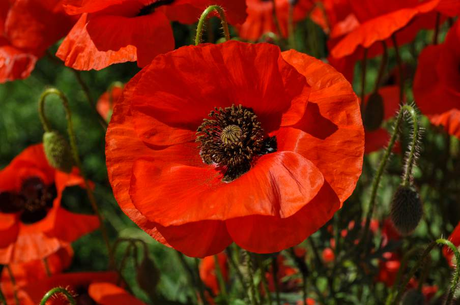 le-coquelicot-formidable-antistress